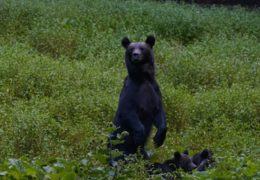 CARPATHIAN PREDATORS – REALM OF THE BEAR