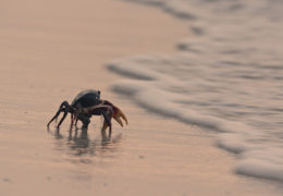 COLOMBIA'S WILD COAST – MARCH OF THE CRABS