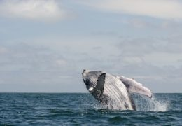 WILD LATIN AMERICA – HUMPBACK, BIRTH OF A GIANT