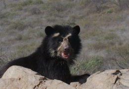 WILD LATIN AMERICA – REALM OF THE SPECTACLED BEAR