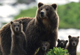 KAMCHATKA BEARS – LIFE BEGINS